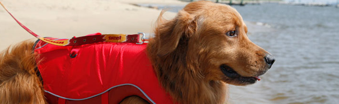 Guinness, the golden lab, sports a red life jacket and looks to the sea eagerly
